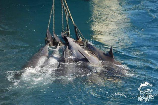 Esemplari di peponocefalo catturati e legati per la pinna caudale, prima della macellazione. Credit: Dolphin Project