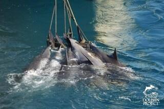 35 delfini catturati, legati come mazzi di fiori e uccisi. Nuovo massacro in Giappone