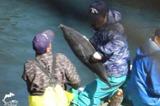 Altri 55 delfini massacrati in Giappone: cucciolo prova a fuggire ma viene preso e ucciso