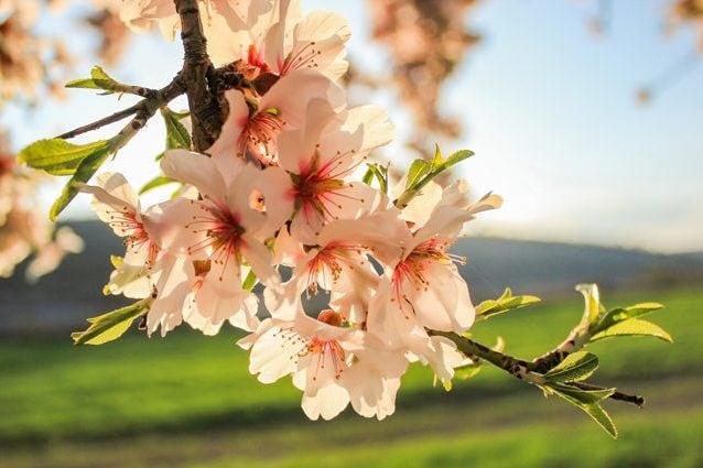 Un mandorlo in fiore. Credit: gecones