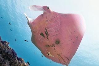Meravigliosa manta rosa fotografata in Australia: è un esemplare unico al mondo