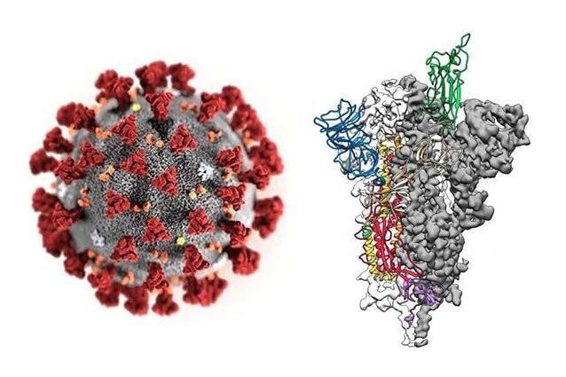 A sinistra, render del coronavirus, a destra struttura molecolare della proteina–spike. Credit: Centers for Disease Control and Prevention (CDC) in Atlanta, Georgia, U.S. January 29, 2020. Alissa Eckert, MS; Dan Higgins, MAM/CDC/Handout – Jason McLellan / Univ. Del Texas ad Austin