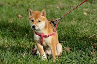 Migliori pettorine per cani del 2020