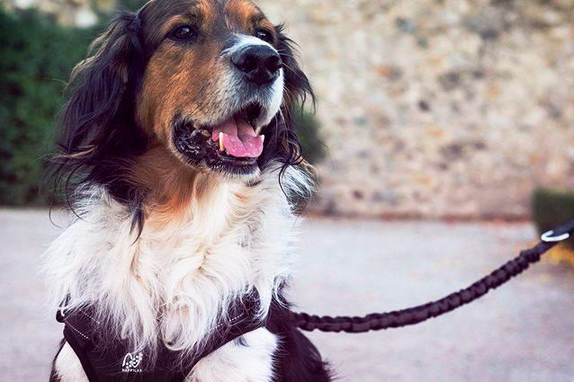 Treponti Pettorina per Cani di Piccola Taglia con Fibbia Regolabile sul Ventre