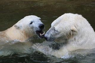 Orsi polari, cannibalismo sempre più frequente a causa dei cambiamenti climatici: ecco perché