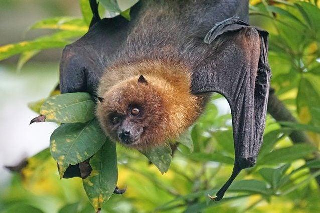 Una volpe volante, una specie di pipistrello. Credit: Pixel–mixer