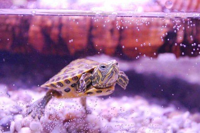 migliori acquari per tartarughe