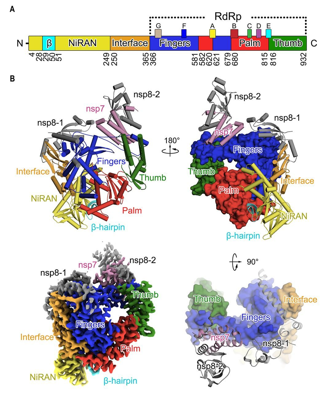 Figura 1. Struttura della Rna–polimerasi Rna–dipendente (complesso nsp12–nsp7–nsp8) di Sars–Cov–2 / Science