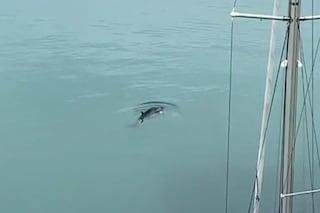 """Rarissimo avvistamento di una balenottera minore nel porto di Anzio, """"svuotato"""" dal coronavirus"""