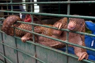 Origine del coronavirus in allevamenti di animali selvatici della Cina: i sospetti dell'OMS