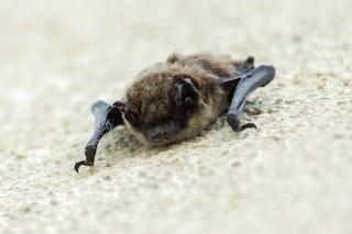 Sei nuovi coronavirus scoperti nei pipistrelli