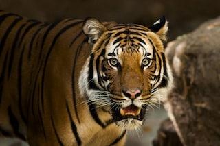 Tigre positiva al coronavirus in uno zoo di New York: contagiata da un custode