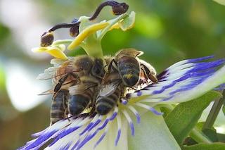 Il veleno delle api distrugge le cellule del cancro al seno aggressivo: speranze per terapia