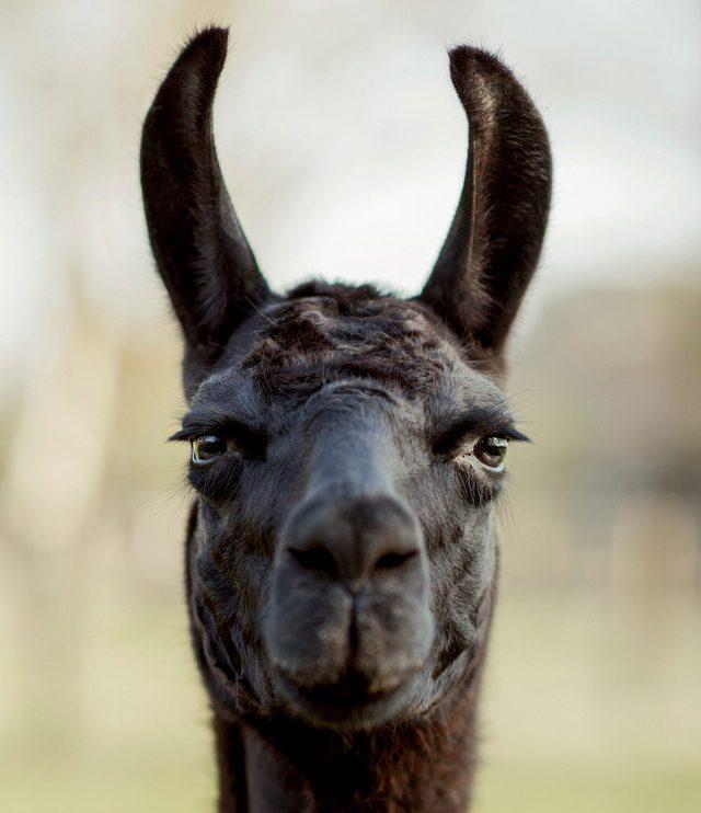 Il lama Winter. Credit: Tim Coppens/Università del Texas