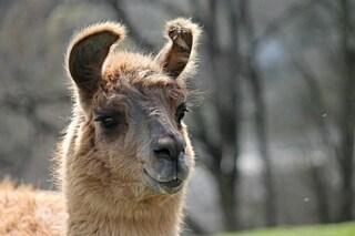 Dagli anticorpi dei lama un aiuto contro il coronavirus: lo neutralizzano in provetta