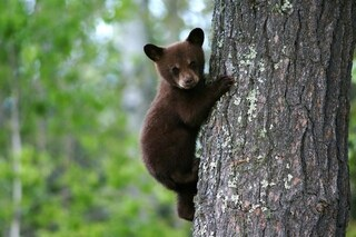 In Alaska i cacciatori potranno uccidere cuccioli di orso e lupo nelle tane grazie a Trump