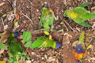 """Un virus sta uccidendo i pappagalli australiani: """"Cadono dal cielo"""""""