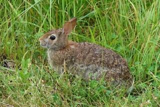Un virus letale sta facendo strage di lepri e conigli in Nord America