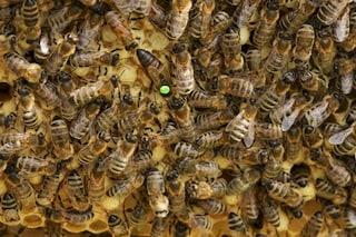 """Le api regine """"starnazzano"""" come anatre: il video del richiamo"""