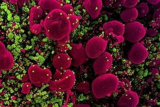 I macachi contagiati dal coronavirus e poi guariti non si riammalano: sono protetti dagli anticorpi