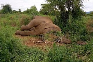 Uccisi otto elefanti in un solo giorno per le zanne: è il peggior massacro in Africa orientale
