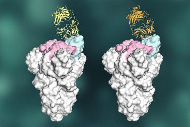 Due anticorpi neutralizzanti agganciati alla proteina S del coronavirus. Credit: Meng Yuan, Hejun Liu Nicholas Wu