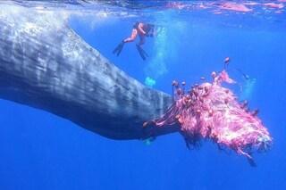 """Le reti fantasma che hanno intrappolato il capodoglio """"Furia"""" uccidono ogni anno 300mila cetacei"""