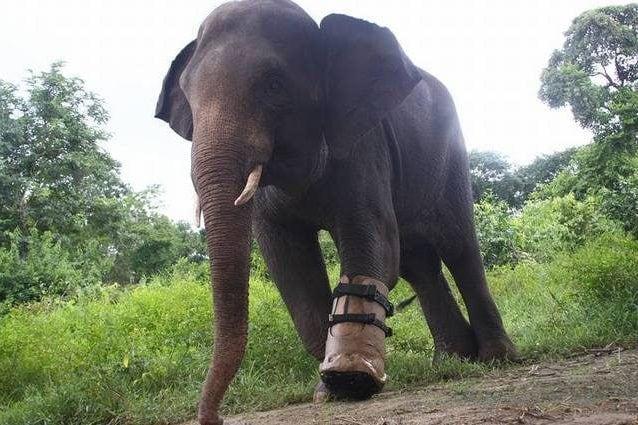 L'elefante Chhouk. Credit: Wildlife Alliance