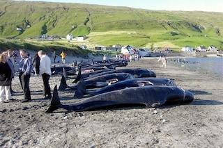300 cetacei massacrati a coltellate alle Isole Faroe: il coronavirus non ferma le lame