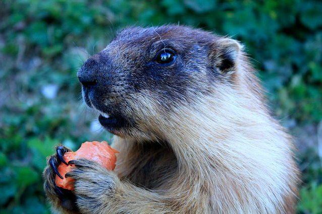 Marmotta tarbagan. Credit: Stéphane Magnenat