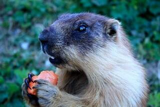 Che tipo di peste sta spaventando la Mongolia: due contagiati dopo aver mangiato marmotte