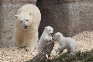 Gli orsi polari si estingueranno entro il 2100 se non faremo nulla contro i cambiamenti climatici