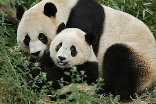 Allo zoo di Washington è nato un cucciolo di panda gigante, è record negli Usa