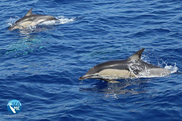 Delfini comuni. Credit: SEA ME