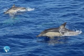 40 rari delfini con cuccioli avvistati a nord della Sardegna: le splendide immagini