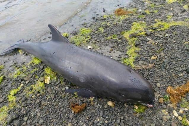 Uno dei delfini spiaggiati. Credit: Greenpeace Africa