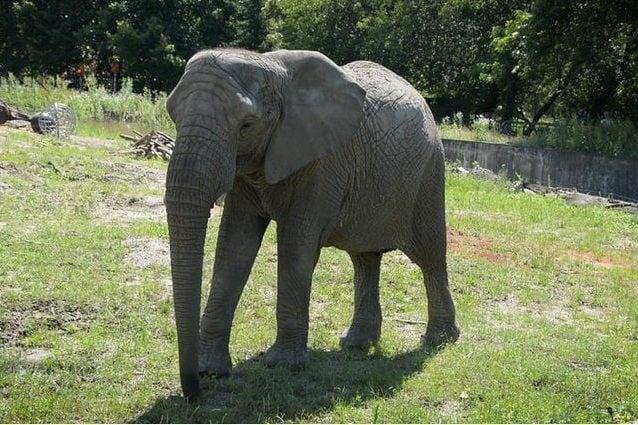 Un elefante africano ospitato allo zoo di Varsavia. Credit: Zoo di Varsavia