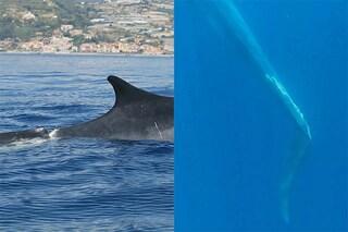 Un'altra balena con la pinna caudale mutilata avvistata nel Mediterraneo: la colpa è solo nostra