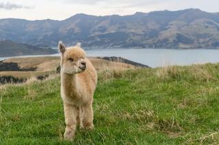 I nano-anticorpi degli alpaca bloccano l'infezione da coronavirus nelle cellule umane