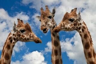 Il collo lungo delle giraffe le rende dei parafulmini su quattro zampe