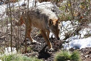 """Non esiste alcuno """"strapotere del lupo"""": perché abbatterli è un atto inutile e dannoso"""