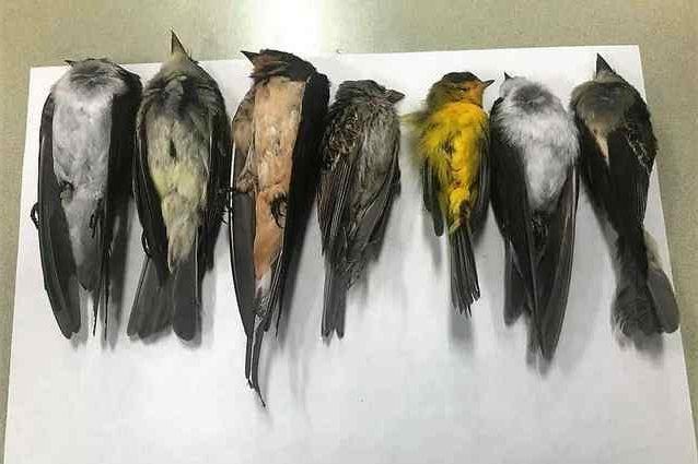 Alcuni degli uccelli trovati morti. Credit: Martha Desmond / New Mexico State University