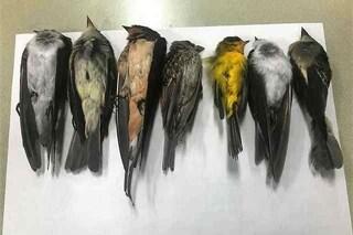 """Morti centinaia di migliaia di uccelli migratori, forse milioni: disastro """"senza precedenti"""""""