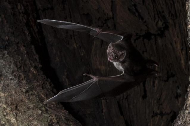 Un esemplare di vampiro vero di Azara. Credit: Sherri and Brock Fenton/Behavioral Ecology