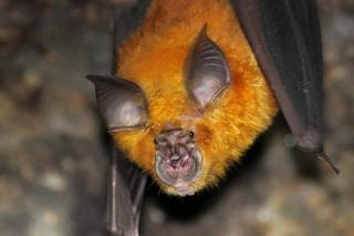"""Due virus """"cugini"""" del coronavirus trovati in pipistrelli fuori dalla Cina: quali sono i rischi"""