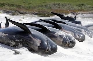 100 cetacei sono morti in uno spiaggiamento di massa avvenuto in Nuova Zelanda