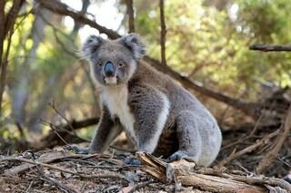 Approvata in Australia la distruzione di 52 ettari di habitat dei koala per ampliare una cava