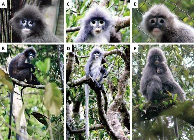 Nelle foto C e D la nuova specie langur Popa. Credit: Zoological Research