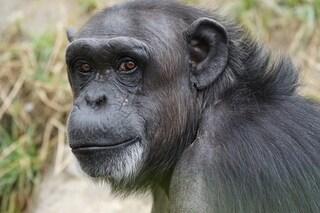 Scimpanzé rinchiusi da decenni fuggono dal recinto dello zoo: uccisi a fucilate tra i visitatori