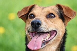 I cani possono individuare i positivi al coronavirus fiutando il sudore delle ascelle